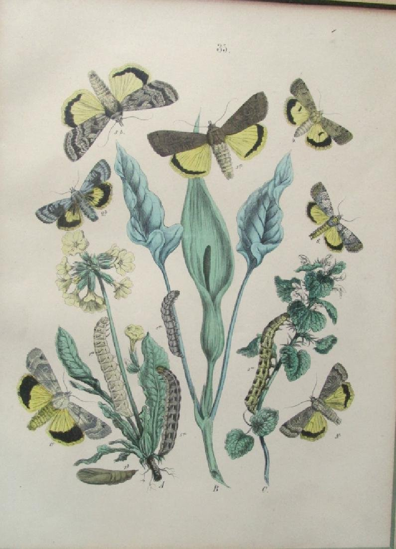 19th Century Hand Colored Butterfly Engraving #35
