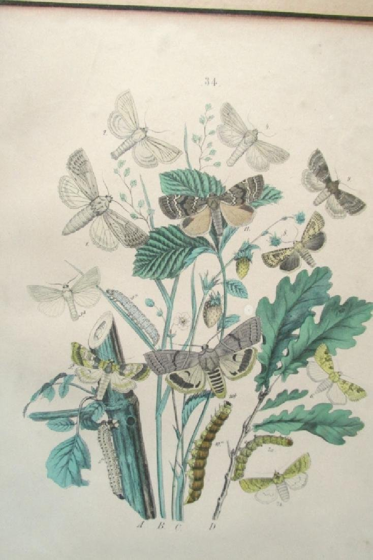 19th Century Hand Colored Butterfly Engraving #34