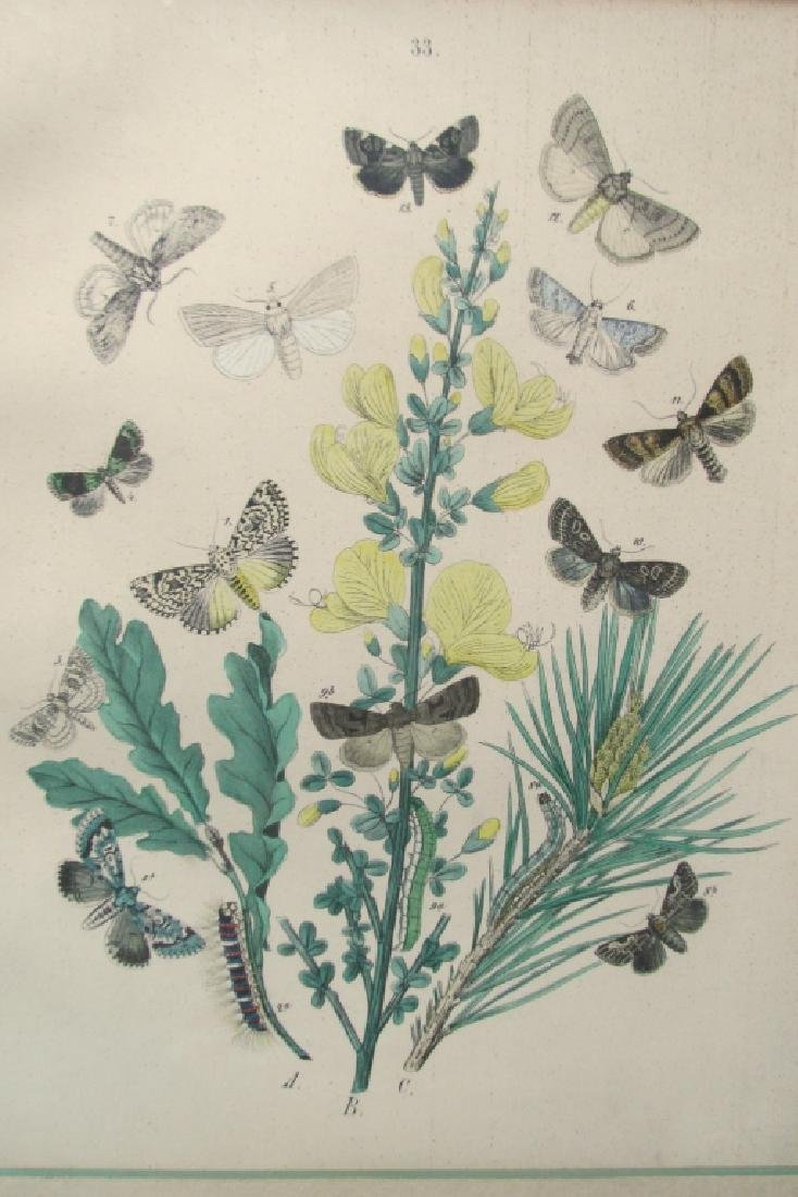 19th Century Hand Colored Butterfly Engraving #33