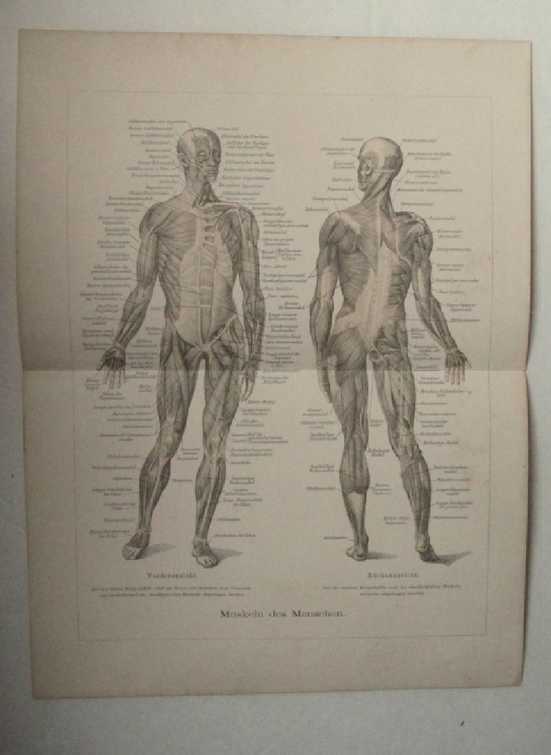 Muscles of Man - German Medical Diagram