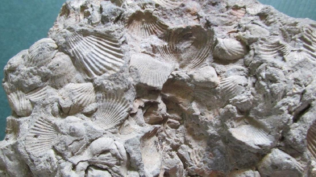 Fossil with All sides Shells
