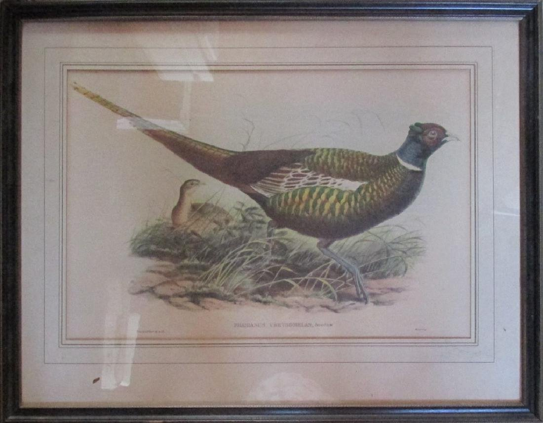 John Gould - 1804 - 1881 - Phasianus Chrysomelas