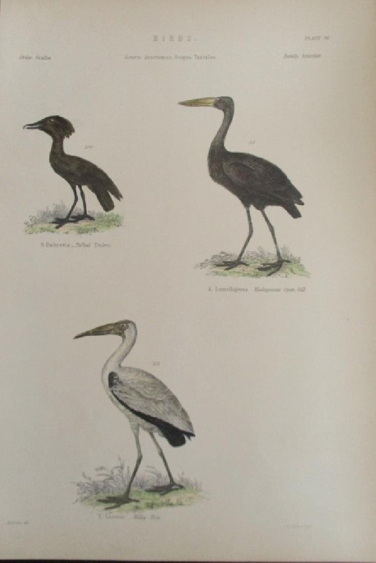 Ibis - Umbre -  Hand Colored Engraving