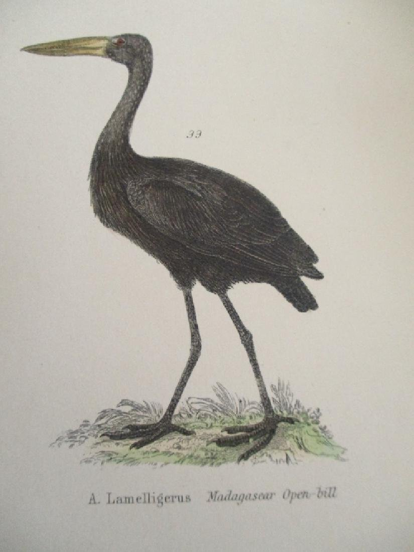 Ibis - Umbre -  Hand Colored Engraving - 3
