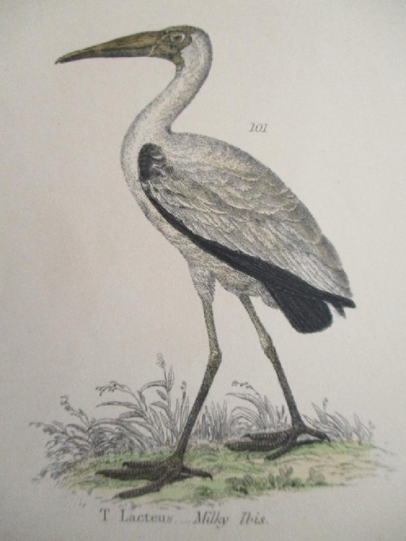 Ibis - Umbre -  Hand Colored Engraving - 4