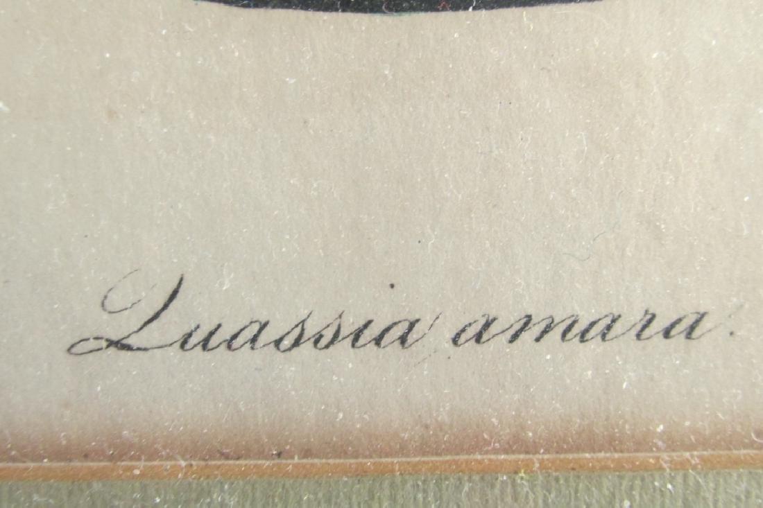 James Sowerby (1757-1822) Quassia Amara - 2