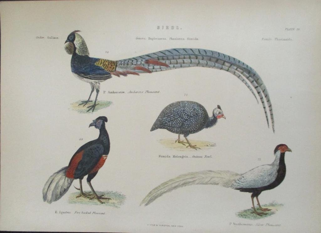 Pheasants-  Hand Colored Engraving