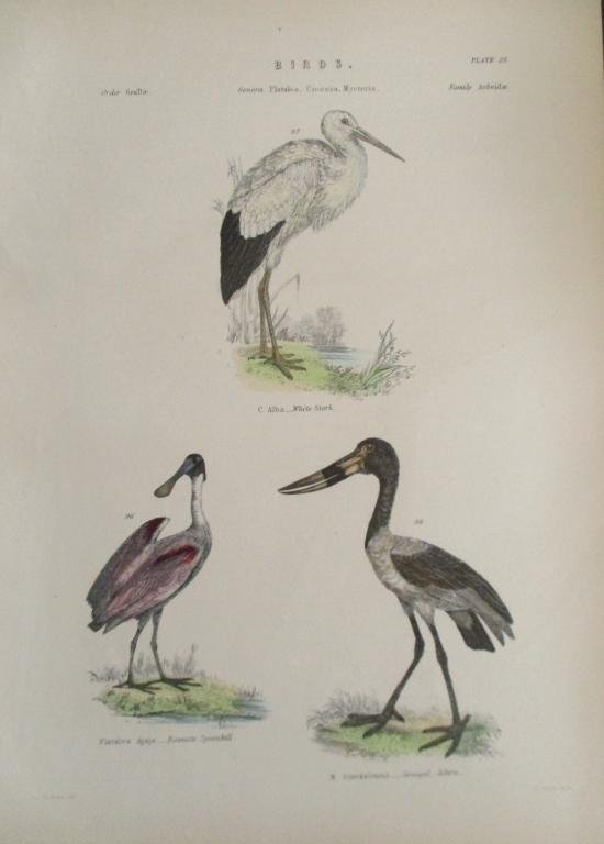 Stork - Spoonbill -  Hand Colored Engraving
