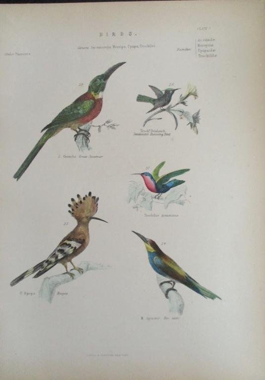 Jacamar - Hoopoe -  Hand Colored Engraving