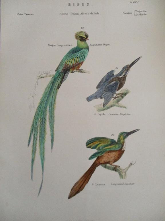 Trogon - Kingfisher -  Hand Colored Engraving