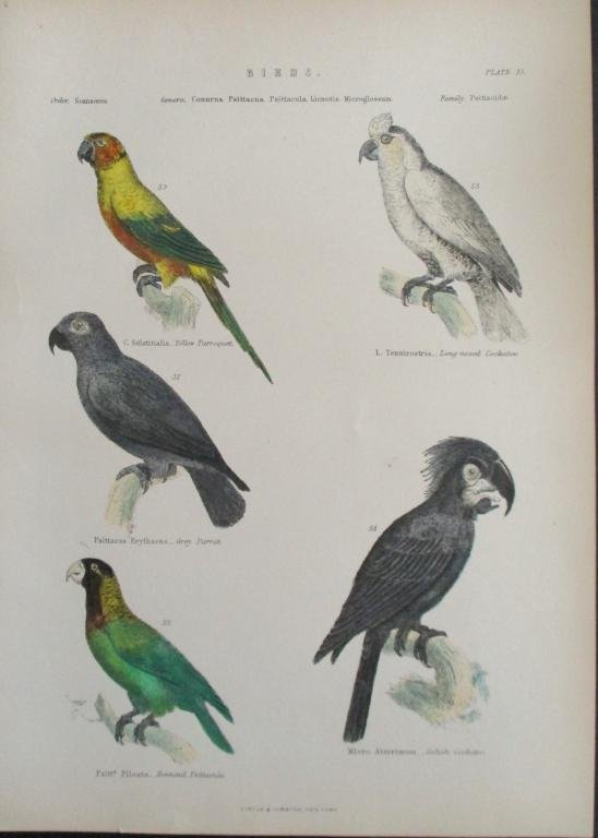 Parrots - Cockatoo-  Hand Colored Engraving