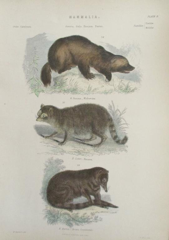 Wolverine - Raccoon  -  Hand Colored Engraving
