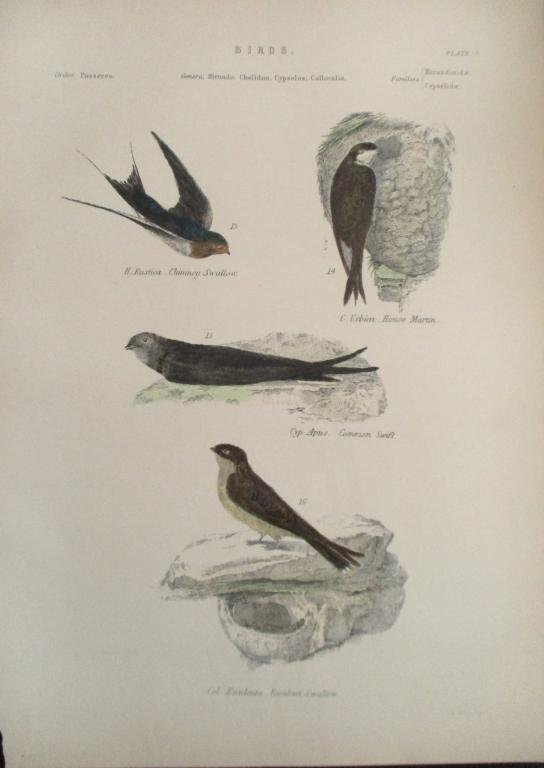 Swallow - House - Martin -  Hand Colored Engraving