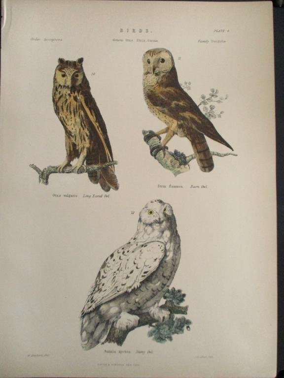 Owls -  Hand Colored Engraving