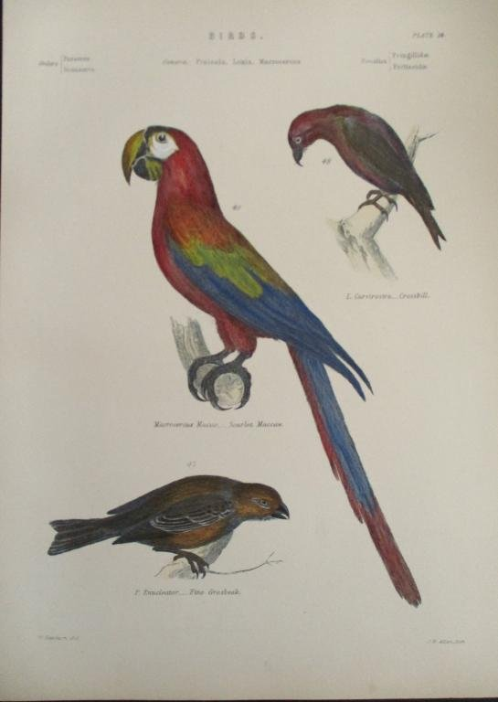 Scarlet Maccaw  - Hand Colored Engraving