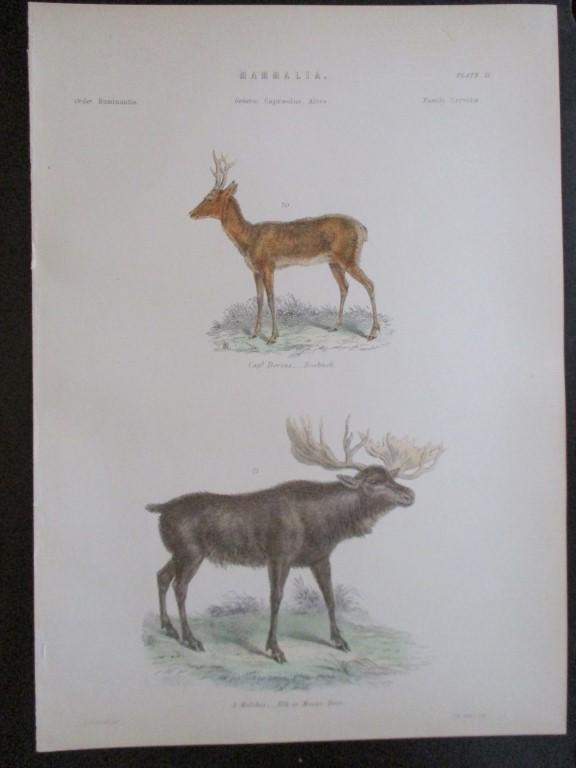 Elk or Moose Deer - Hand Colored Engraving