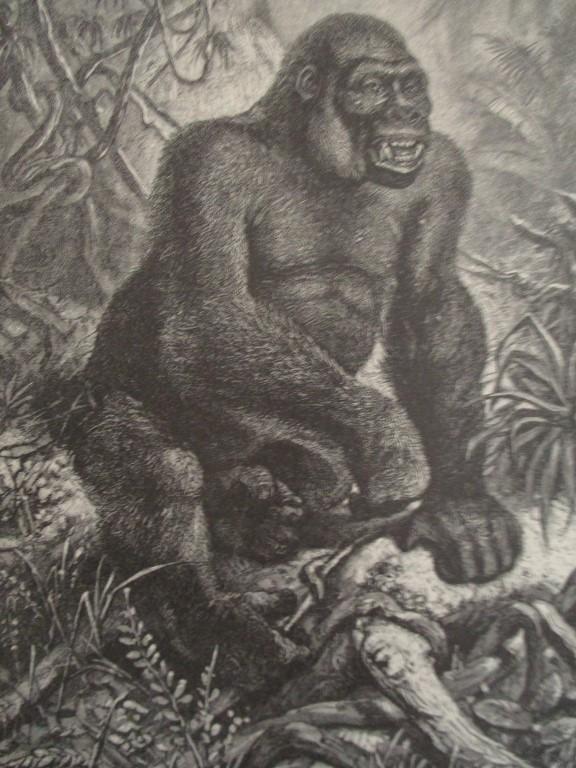 Gorilla - 19th Century Wood Engraving