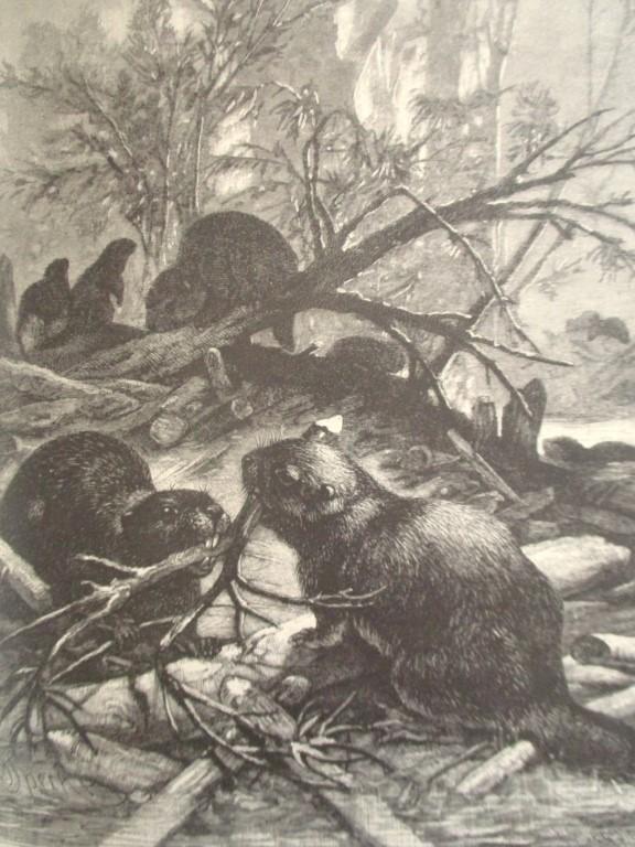 Beaver - 19th Century Wood Engraving
