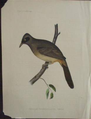 Perry's Japan Expedition Bird Print 1852 - 1854