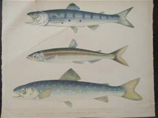 Perry's Japan Expedition Fish Print 1852 - 1854