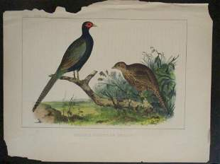Perry's Japan Expedition Bird Print 1852 - 1854