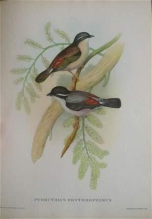 Pteruthius Erythropterus - John Gould 1804-1881