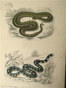 Acrochordus & Platurus (Snakes)