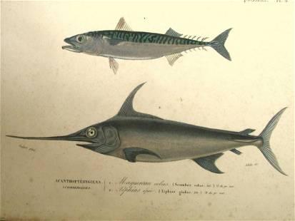 Scomber & Xiphias Gladius (Swordfish)
