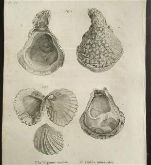 Two Sea Shells - Early Copper Engraving