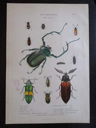 Entomology Beetles Natural History Hand Colored