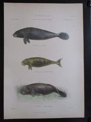 Manatee - Natural History Hand Colored Engraving