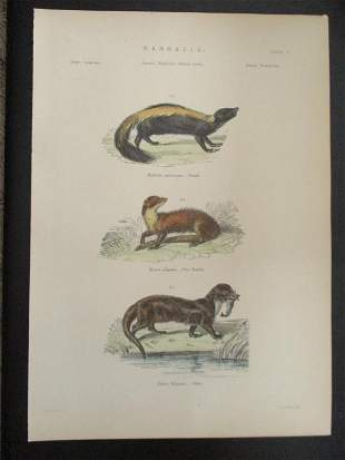 Skunk - Martin - Otter - Hand Colored Engraving