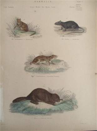 Dormouse - Beaver - Rat - Hand Colored Engraving