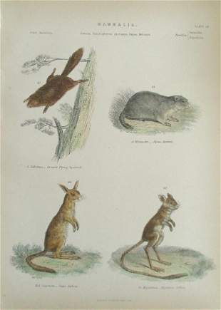 Squirrel - Jerboa Hand Colored Engraving