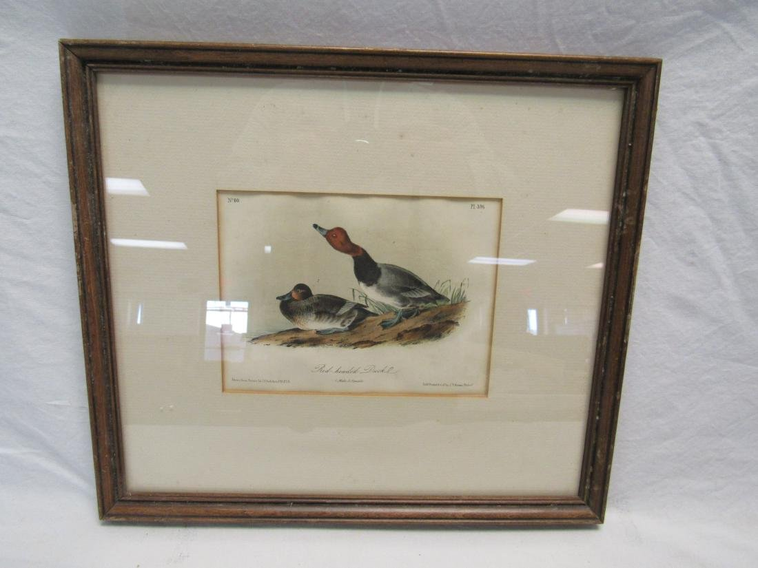 J. J. Audubon Lithograph of Red Headed Duck