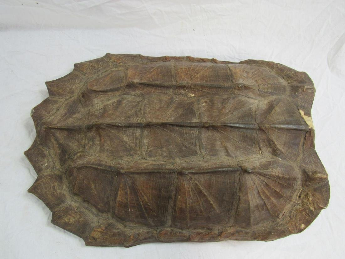 Alligator Turtle Shell