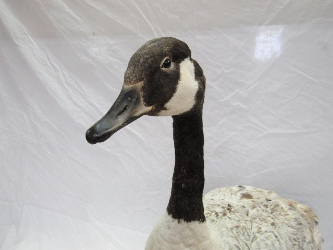 Taxidermy Canadian Goose - 3