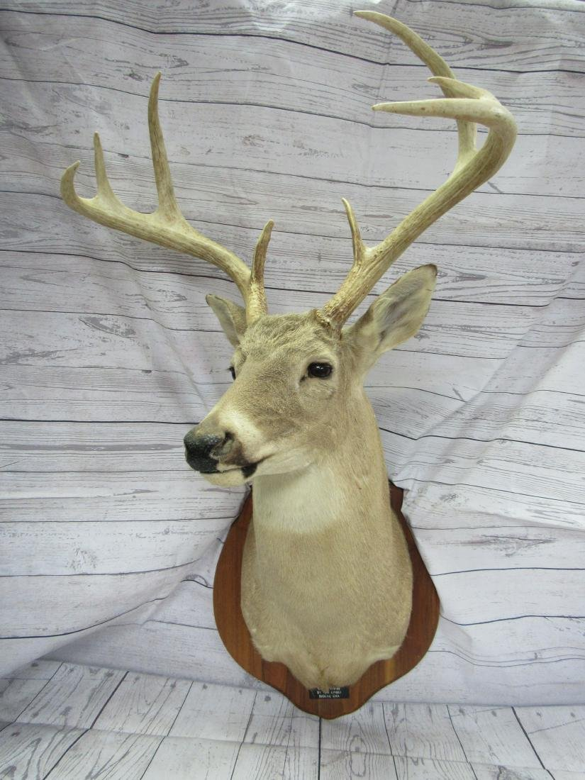 Whitetail Buck Shoulder Mount Taxidermy