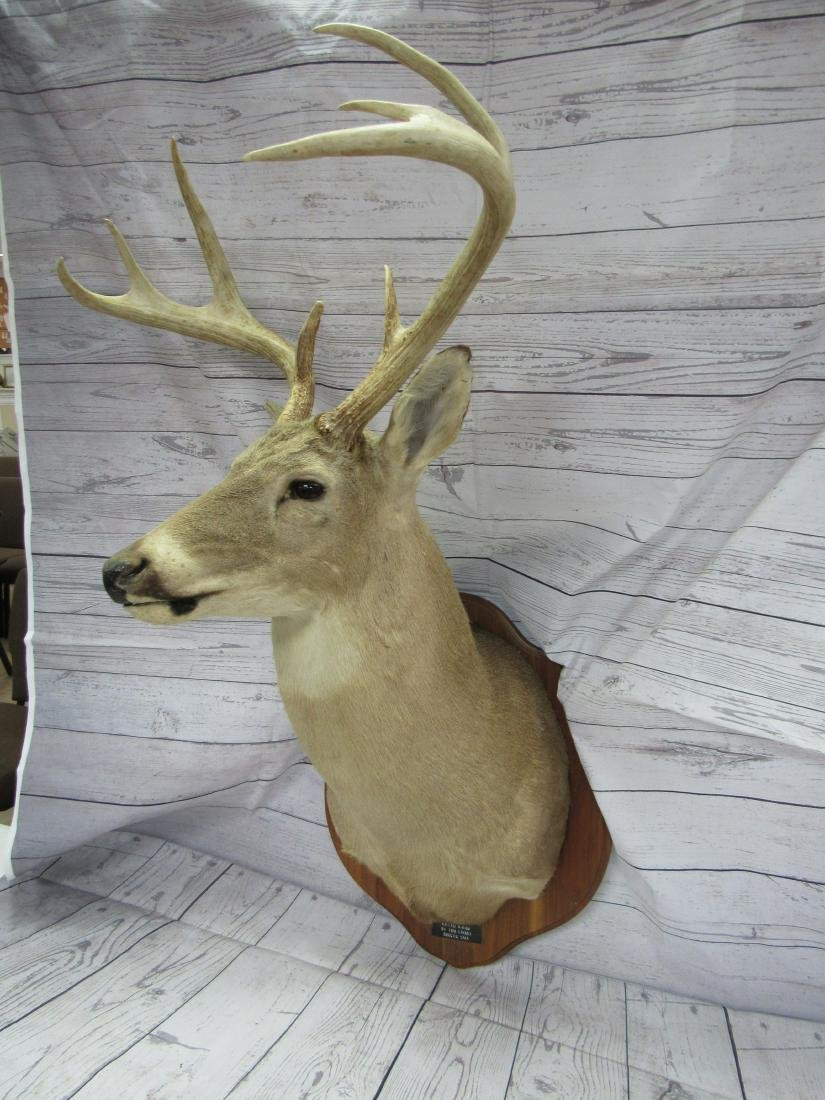 Whitetail Buck Shoulder Mount Taxidermy - 2