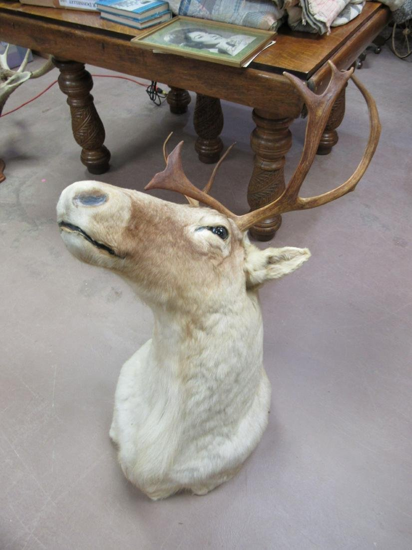 Caribou Shoulder Mount Taxidermy