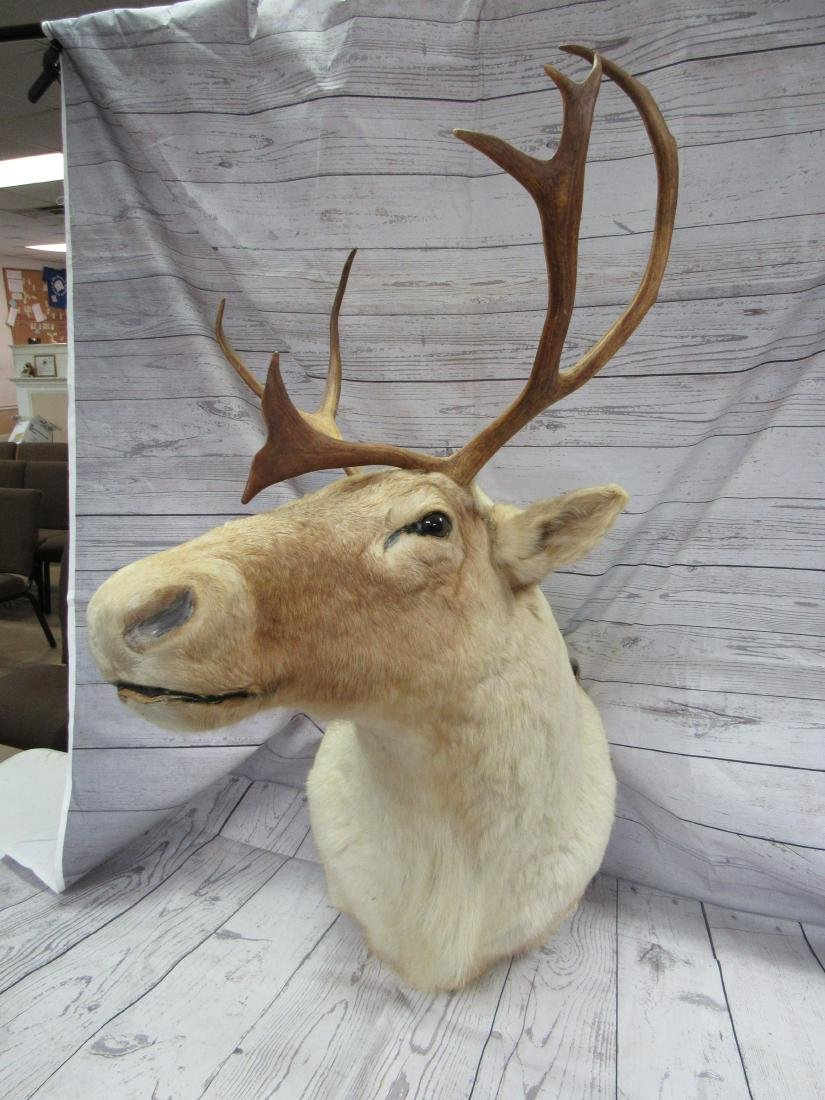 Caribou Shoulder Mount Taxidermy - 2