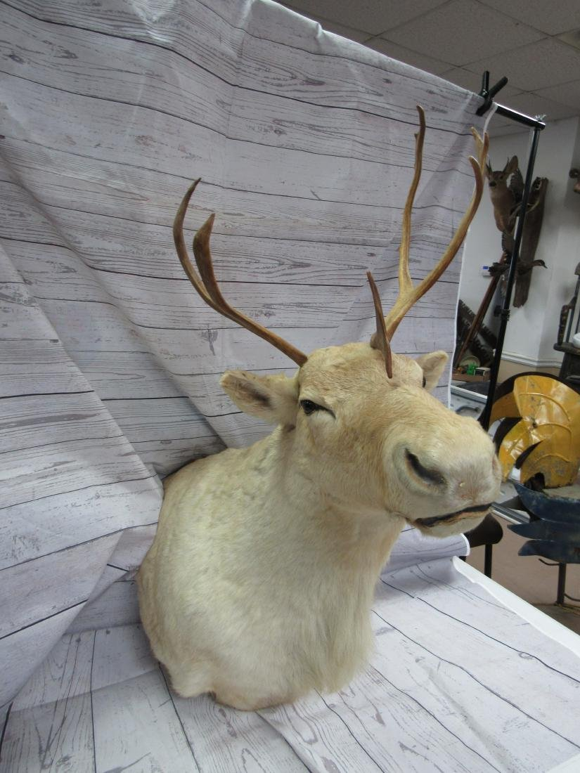 Caribou Shoulder Mount Taxidermy - 3