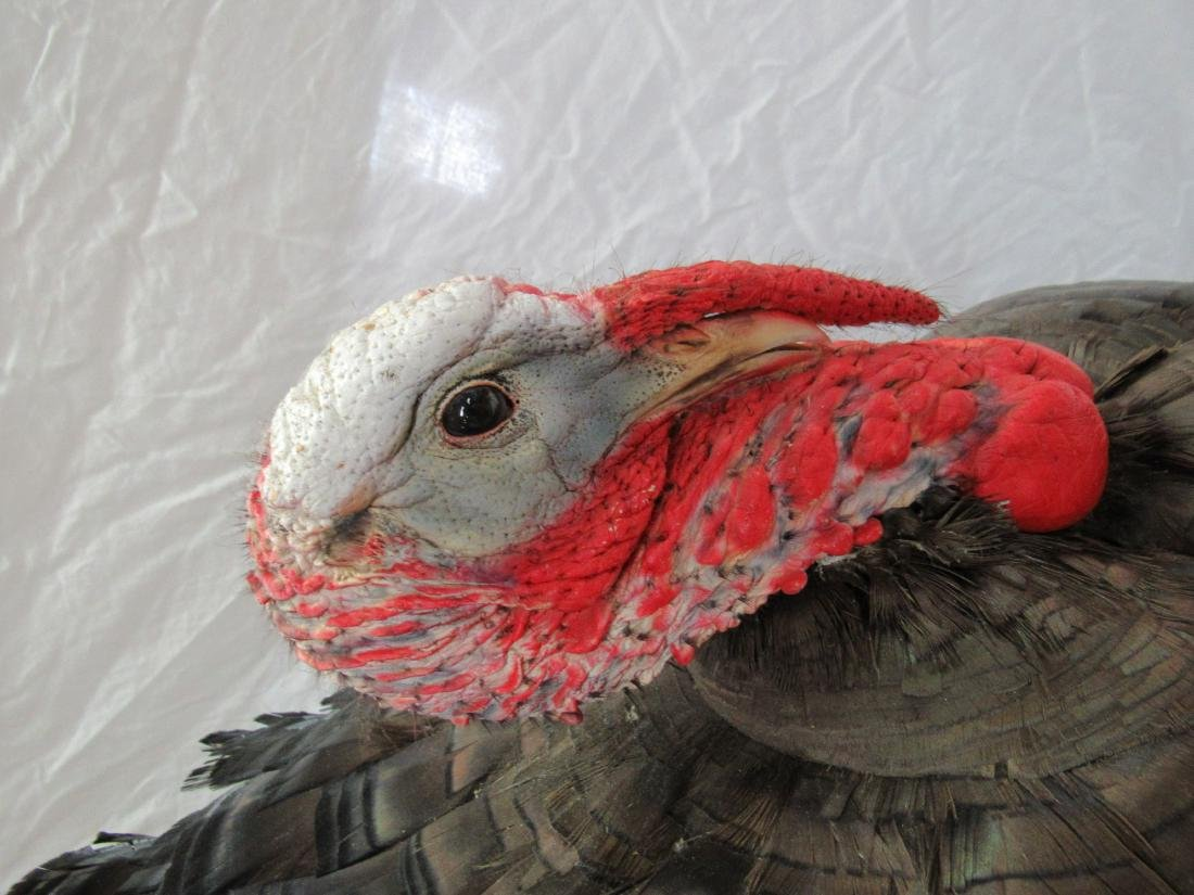Taxidermy Gobbler Turkey Mount - 3