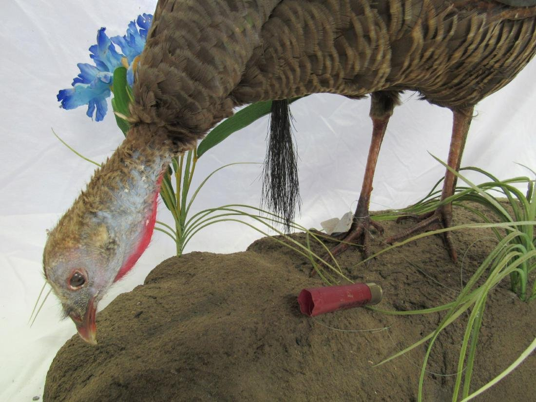 Taxidermy Turkey, Hen with Beard Mount - 2