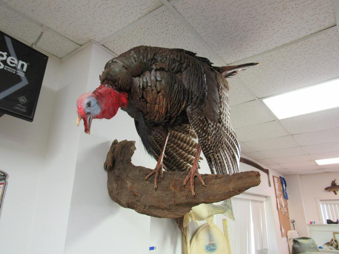Mounted Taxidermy Turkey
