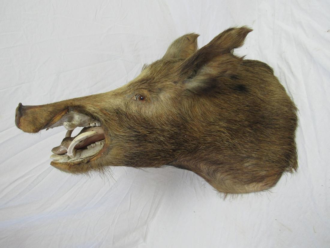 Shoulder Mount of Wild Boar