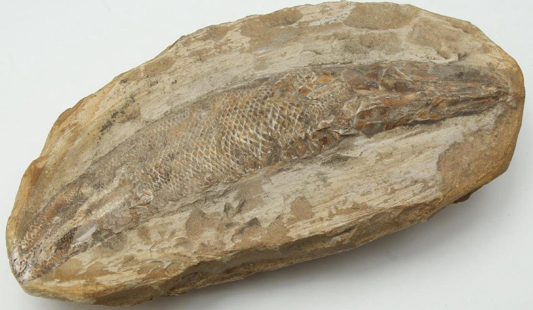 Fossilized Fish- Natural History