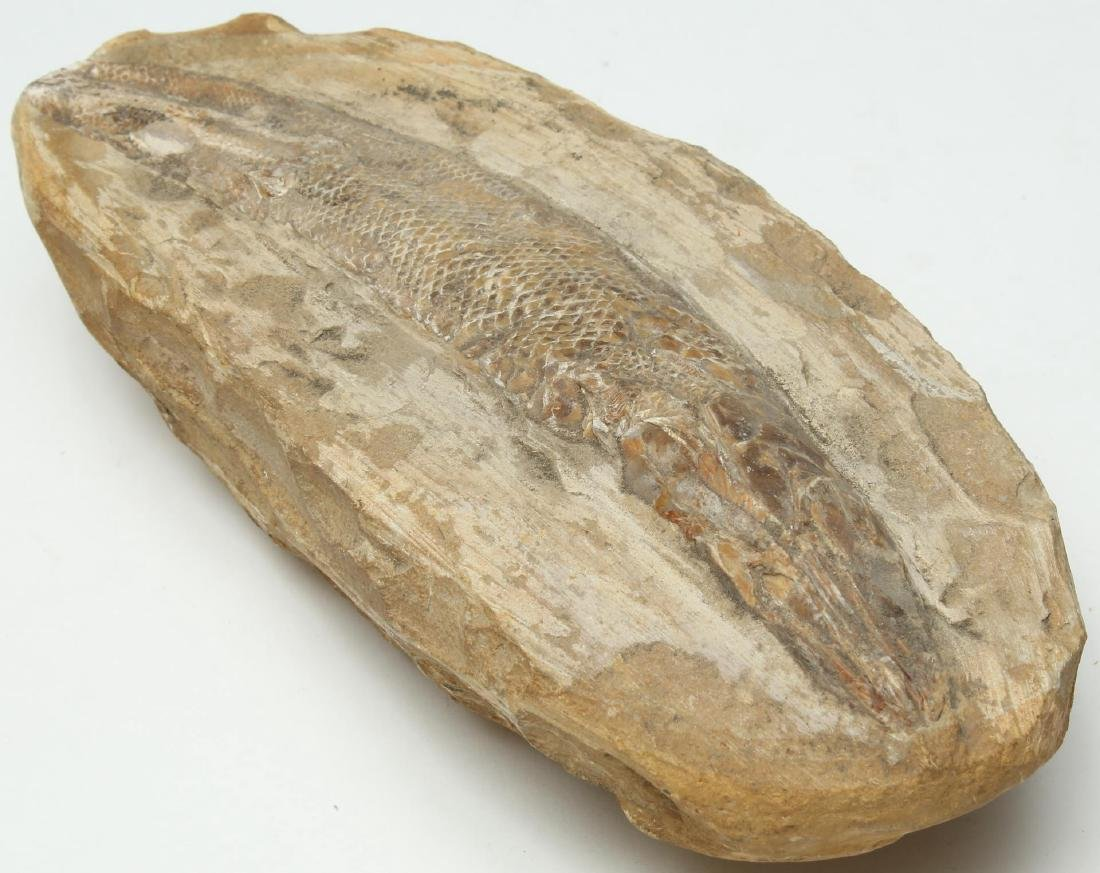 Fossilized Fish- Natural History - 2