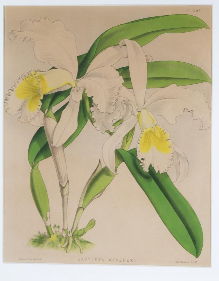John Nugent After Fitch Orchid Botanicals Lithos, 3 - 2