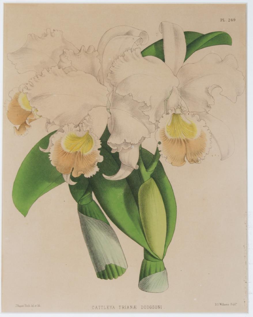 John Nugent After Fitch Orchid Botanicals Lithos, 3 - 3